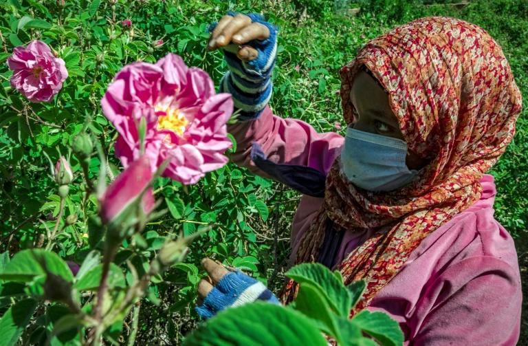 A worker harvests roses, but the industy has been hit by the impact of the Covid-19 pandemic