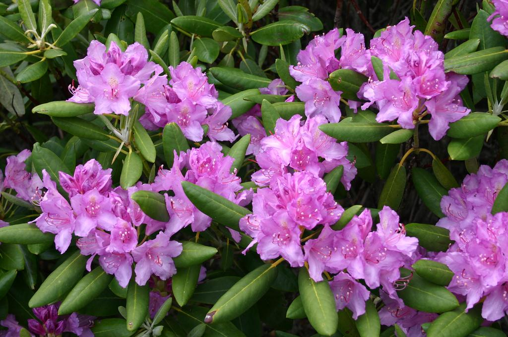 "<strong>Rhododendron (Rhododendron ponticum)</strong><br /><br /> <strong>Why we grow it:</strong> Give them moisture and shade, and rhododendron shrubs offer showy red, white, pink, or purple flower clusters in spring and thick, glossy leaves that thrive into the winter.<br /><br /> <strong>Deadly parts:</strong> The entire plant. <br /><br /> <strong>Toxic toll:</strong> Who knew both West Virginia and Washington's state flower was a silent killer? Swallow any part of this plant, and you're going to look as bad as you feel. While drooling from the mouth and teary-eyed, you'll begin vomiting violently, just as your pulse slows down and low blood pressure sets in. Death can occur shortly after falling into a coma or during a violent seizure.<br /><br /> <a href=""http://bit.ly/16YJROT"" target=""_blank"">Photo by Flickr user Ryan Somma</a>"