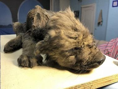18,000-year-old pre-historic puppy unearthed from Russia's permafrost, completely intact