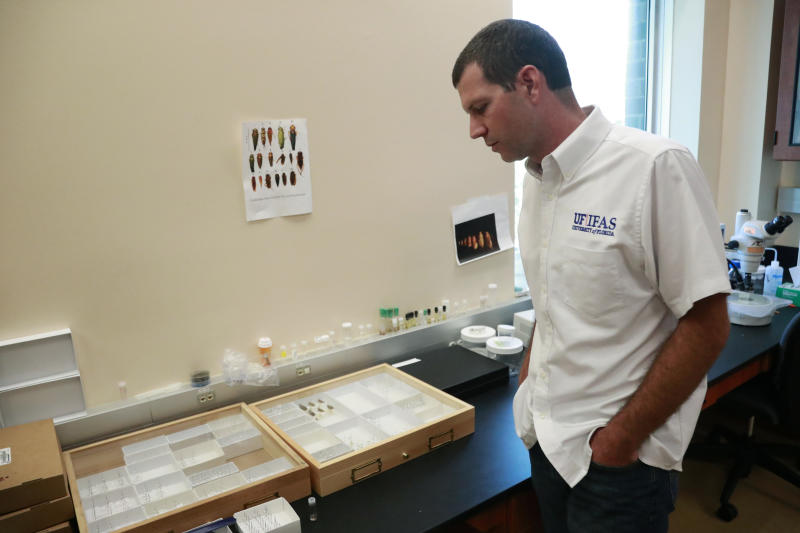 In this Wednesday, July 31, 2019, photo, Brian Bahder, assistant professor of entomology at the University of Florida, shows off cases of captured plant-hopper insects, that are thought to transmit a lethal bronzing disease to palm trees, at a lab in Davie, Fla. Florida's iconic palm trees are under attack from a fatal disease that turns them to dried crisps within months with no chance for recovery once ill. Lethal bronzing is caused by a bacteria spread by a rice-sized insect. It has gone from a small infestation on Florida's Gulf Coast to a statewide problem in a decade. (AP Photo/Wilfredo Lee)