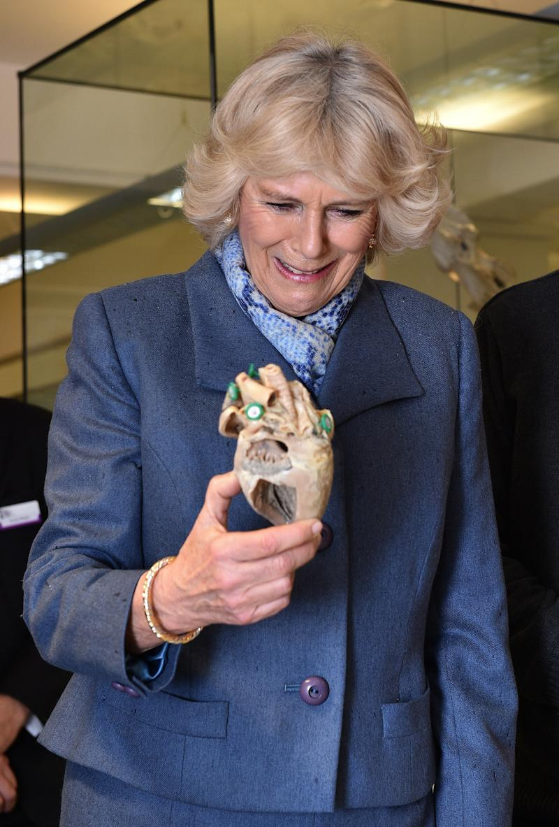 Camilla Parker Bowles marveling at a plastinated dog's heart during a visit to Beaumont Sainsbury Animal Hospital in London, February 2015.