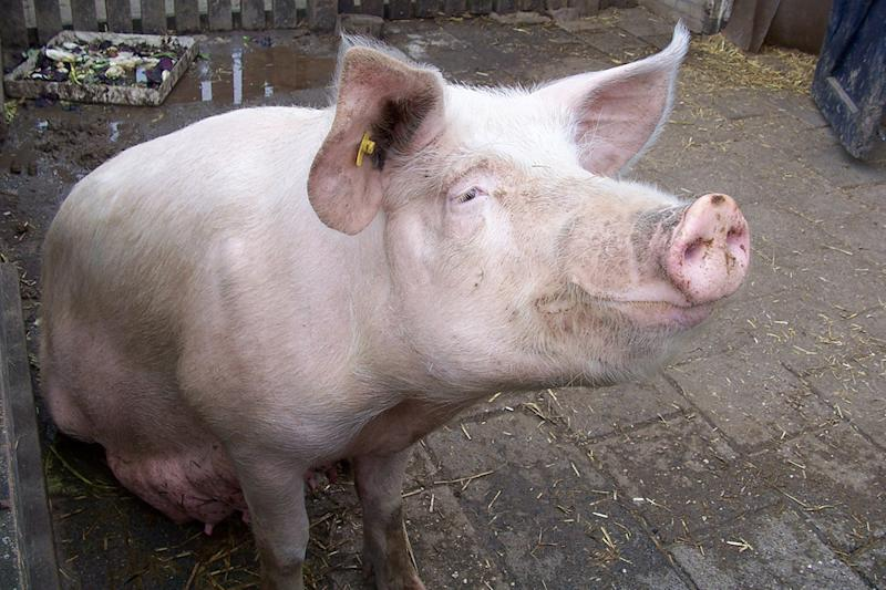 New pig-human hybrid embryos could be used to grow transplantable organs and tissues