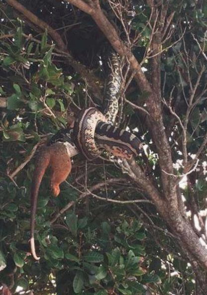 The snake literally slithered circles around the possum. Photo: Facebook/The Wildlife Conservation Co.