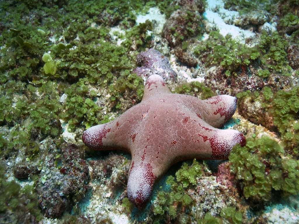 Starfish in the Andaman Sea.