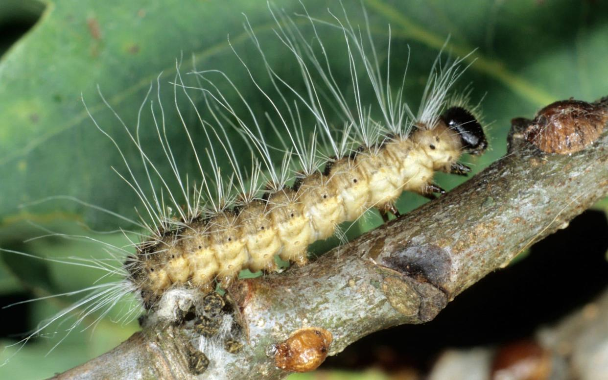 The Environment Audit Committee believes a citizen's army is required to eliminate invasive species such as the Oak Processionary Moth - Alamy