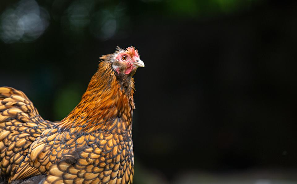 Photo of a pretty backyard chicken