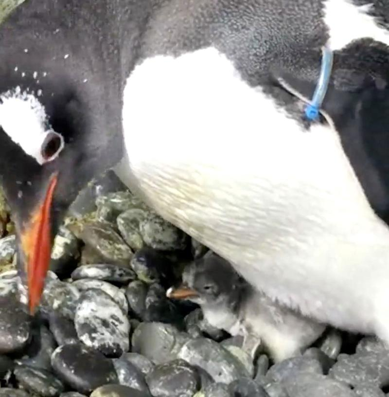 Same-Sex Penguin Couple Welcomes Their First Baby