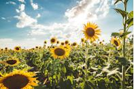 """<p>Plant sunflower seeds in the spring for spectacular blooms in late summer months. Plant tall varieties in the back of a garden or intersperse shorter bloomers throughout your garden bed.</p><p><a class=""""link rapid-noclick-resp"""" href=""""https://www.amazon.com/Sunflower-Planting-Non-GMO-Packets-Instructions/dp/B08LQR4VJ7/?tag=syn-yahoo-20&ascsubtag=%5Bartid%7C10050.g.32157369%5Bsrc%7Cyahoo-us"""" rel=""""nofollow noopener"""" target=""""_blank"""" data-ylk=""""slk:SHOP NOW"""">SHOP NOW</a><br></p>"""