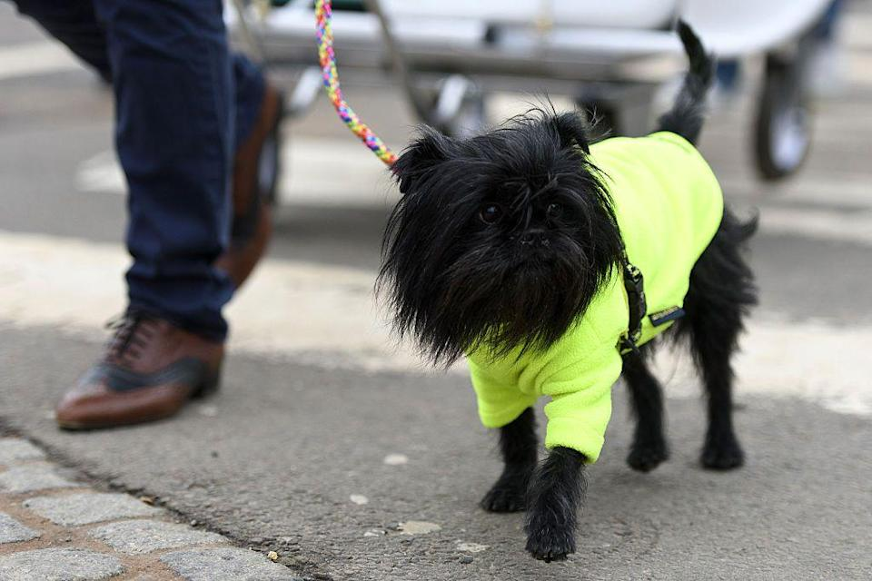 <p>The Affenpinscher is known for being curious and highly amusing—it has almost human-like mannerisms! There's never a dull moment with these dogs, and they make very affectionate companions. </p><p><strong>Weight: 7-10 pounds</strong></p>
