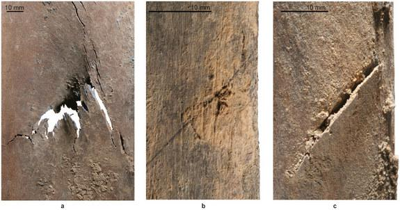 These injuries were likely made by human weapons, including those on the left scapula (a), an incision on the right rib (b) and a deep cut on the left fifth rib (c).