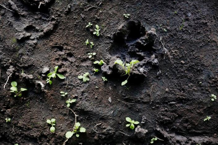 A lionesses footprint is seen in the mud at the Munjiriri cave near Nairobi