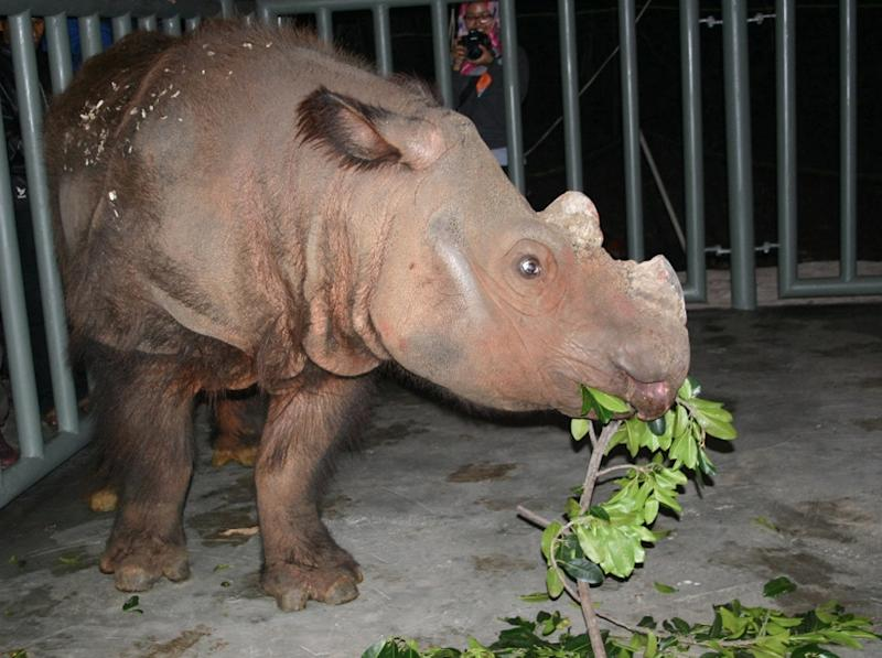 This photo obtained November 2, 2015 courtesy of the Cincinnati Zoo shows male Sumatran rhino Harapan in his crate upon arrival in Sumatra (AFP Photo/)