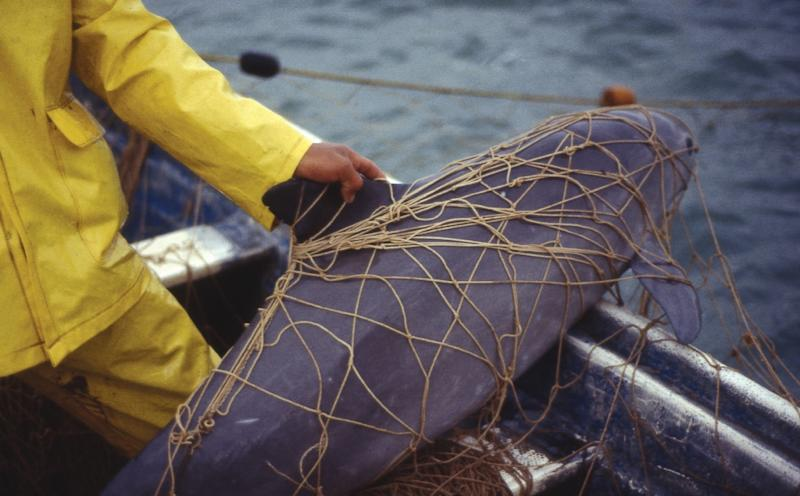 """This handout photo released by World Wide Fund for Nature (WWF) shows a """"Vaquita Marina"""" (Phocoena sinus) apparently dead after being trapped in a net set by fishermen to catch Totoaba fish (Totoaba macdonaldi) (AFP Photo/Omar Vidal)"""