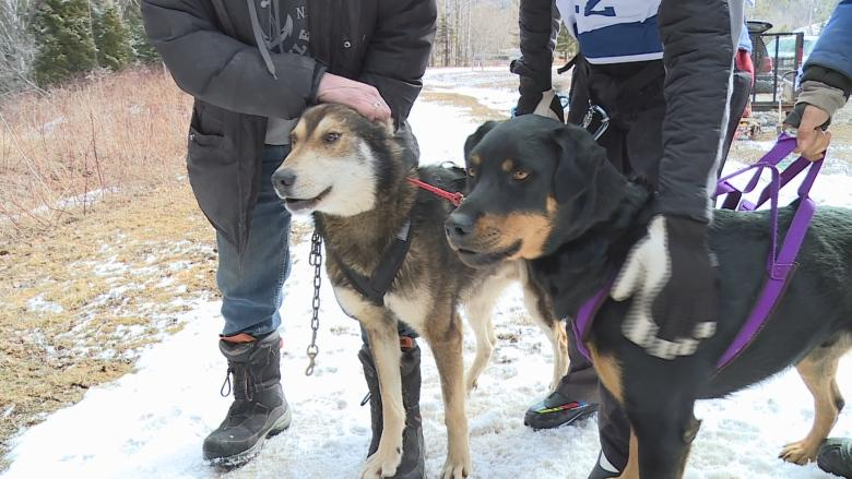 Martock hosts dozens of dogs, owners at weekend mushing jamboree