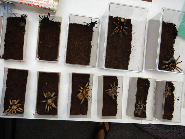 <p>Tarantula's confiscated by the U.S. Fish and Wildlife Service are shown in this December 3, 2010 handout photo released to Reuters January 18, 2011. A German national who shipped the tarantulas into the United States through the mail pleaded guilty on Tuesday to a federal smuggling charge, prosecutors said. (Photo: U.S. Fish and Wildlife Service/Handout/Reuters) </p>