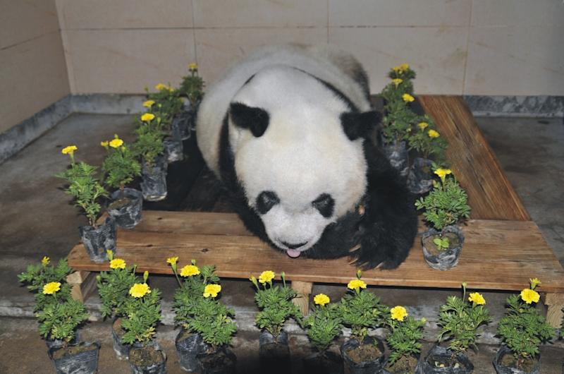 Mourners were able to view the body of Basi, the world's oldest capitve panda, after she died at a zoo in Shanghai (AFP Photo/Handout)