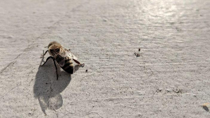 Photo of a lone honeybee crawling to the left.