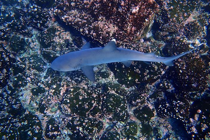 A white-tipped reef shark in the waters off North Seymour Island in the Galapagos.