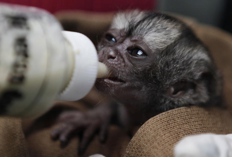 A 15-day-old night monkey is fed at a temporary shelter west of Bogota, Colombia, Monday, Feb. 18, 2013.  The male night monkey arrived at the center on Feb. 4, weighing a scant 100 grams, or about one-quarter of a pound. It was brought by a man who said he found it abandoned on the side of a highway in Colombia's eastern plains near Meta province, said Judith Cardenas, the center's chief biologist. The plan, according to Cardenas, is to let the baby monkey grow and then place him in a large cage in the center, next to another monkey of the same species. (AP Photo/Fernando Vergara)