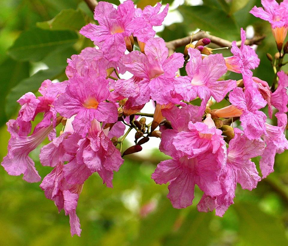 Flowers of the trumpet tree. (PHOTO: National Parks Board)