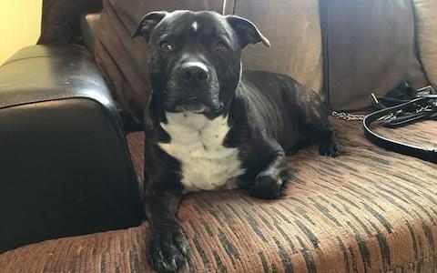 Jack the Staffordshire bull terrier - Credit: KMG / SWNS