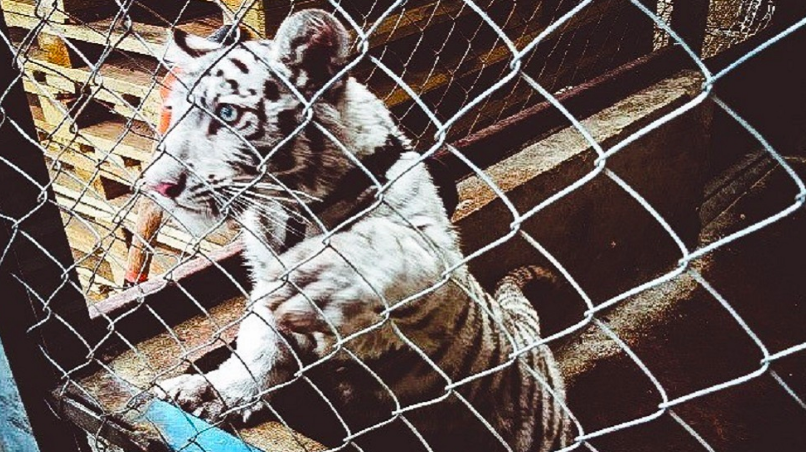 Mexican road inspections seized this white tiger cub as part of Operation Thunderball. (INTERPOL)