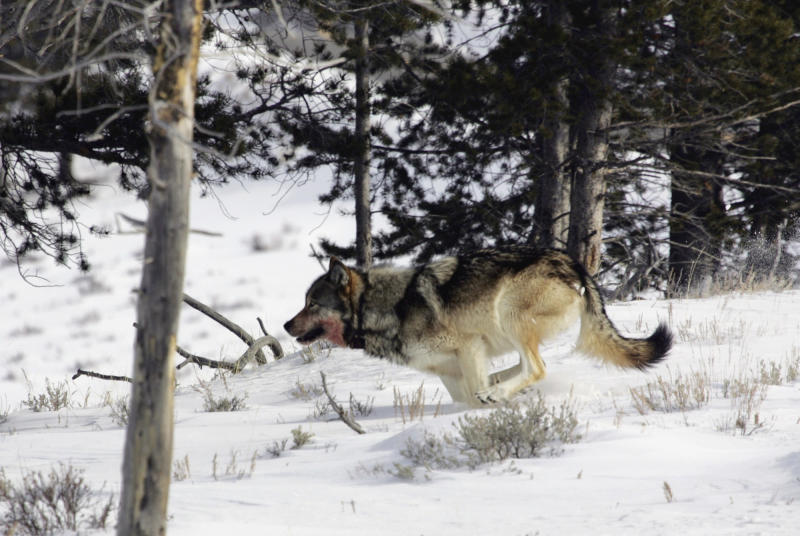 FILE - In this Feb. 16, 2006 photo provided by Yellowstone National Park, a gray wolf is seen on the run near Blacktail Pond in Yellowstone National Park in Park County, Wyo. The Obama administration on Friday June 7, 2013, will propose lifting federal protections for gray wolves across most of the Lower 48 states, a move that would end four decades of recovery efforts but has been criticized by some scientists as premature. (AP Photo/Yellowstone National Park, File)
