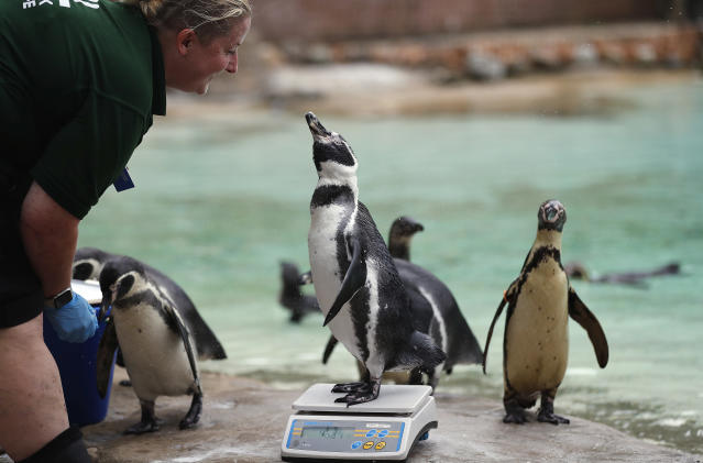 <p>A penguin is watched by a zoo keeper as it stands on a weighing scale for the Zoo's annual weigh in, in London, Thursday, Aug. 23, 2018. Home to more than 19,000 animals in their care, 800 different species, zookeepers regularly record the heights and weights of all the creatures at ZSL London Zoo as a key way of monitoring the residents' overall wellbeing. (AP Photo/Frank Augstein) </p>