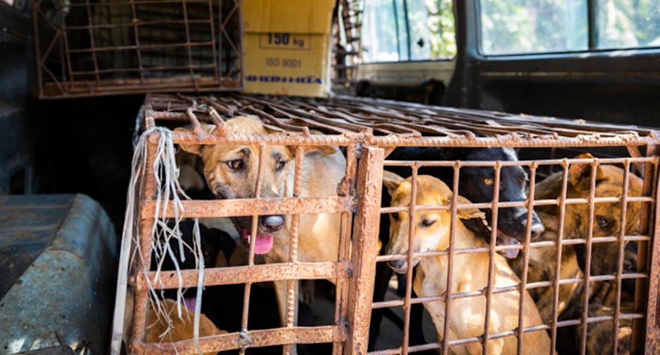 A cage full of dogs in the back of a ute.