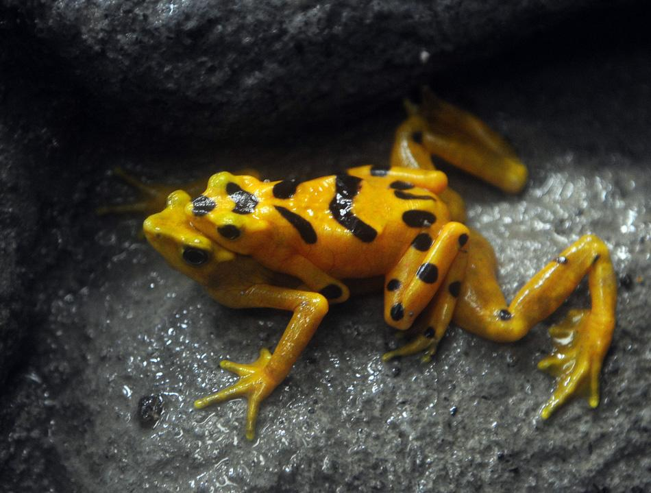 A golden frog (Atelopus zetequi ) is seen at the El Nispero del Valle de Anton zoo, 124 km west of Panama City April 16, 2009. The total population of golden frogs in Panama has been reduced to around 3,000 specimens, mostly due to the action of a pathogenic fungus,  the director of the Panamanian project of rescue and conservation of amphibians Roberto Ibanez said to AFP on August 18, 2012.   AFP PHOTO/Elmer MARTINEZ