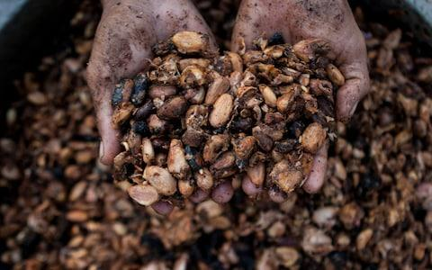Cocoa beans harvested  - Credit:  Xinhua