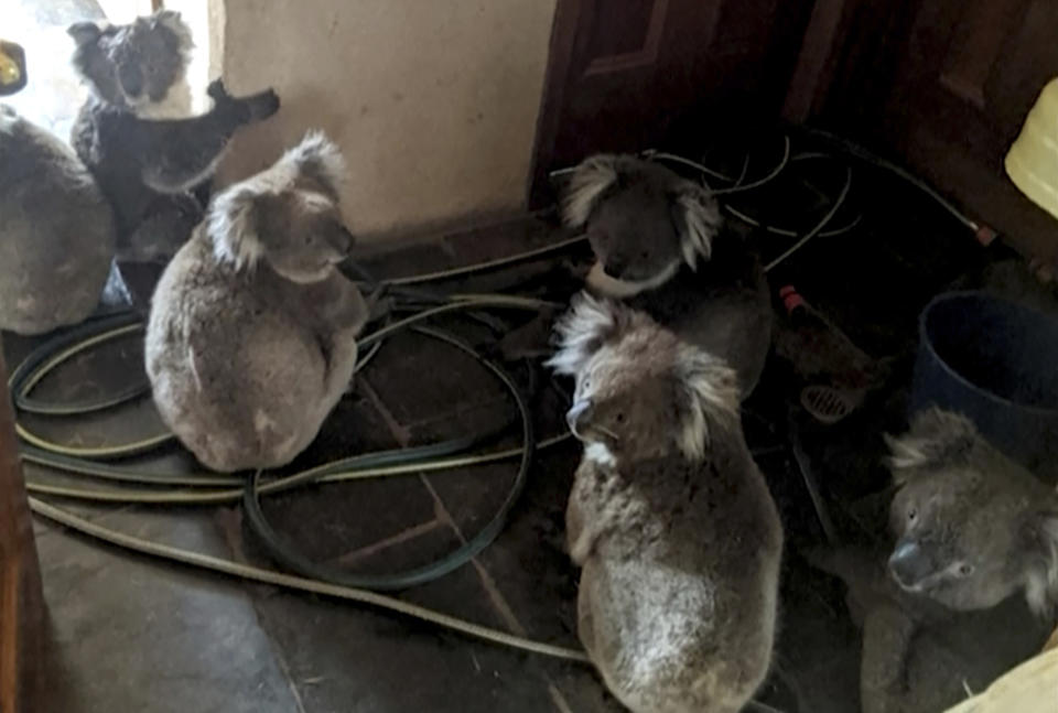 In this Dec. 20, 2019, photo provided by Adam Mudge, koalas sit inside a home in Cudlee Creek, South Australia, after being rescued from fires at a garden. Local firefighters assigned to protect a property from an approaching fire in South Australia on Friday helped a homeowner move koalas into her house to keep them safe from the flames. (Adam Mudge via AP)