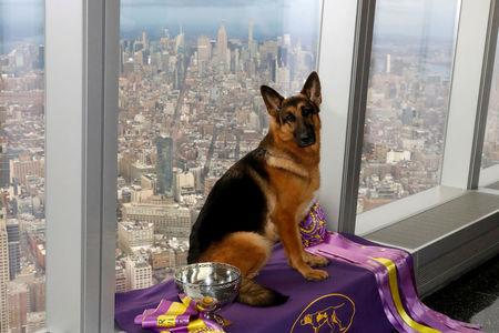 FILE PHOTO: Rumor, a German shepherd and winner of Best In Show at the 141st Westminster Kennel Club Dog Show, poses for photographers during a trip to One World Observatory atop One World Trade Center in New York, NY, U.S., February 15, 2017. REUTERS/Brendan McDermid/File Photo