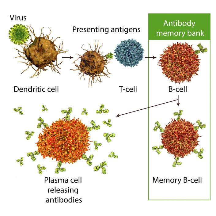 Why it takes 2 shots to make mRNA vaccines do their ...