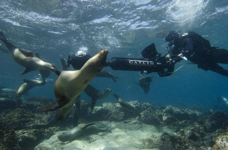 In this May 2013 photo provided by Catlin Seaview Survey, Christophe Bailhache navigates an SVII camera through a large group of sea lions during a survey dive at Champion Island in Galapagos. Few have laid eyes on many of the volcanic islands of the Galapagos archipelago that remain closed to tourists. But soon the curious will be able to explore these places that inspired Charles Darwin's theory of evolution from their computers or mobile devices. Google Maps sent crews armed with backpack-mounted Street View cameras and underwater gear to the Galapagos, and will be bringing the islands' natural wonders to the Internet. (AP Photo/Catlin Seaview Survey)