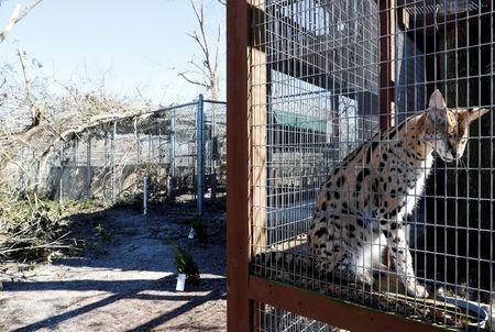 FILE PHOTO: An African serval sits in a cage near trees felled by Hurricane Michael at the Bear Creek Feline Center in Panama City, Florida, U.S. October 12, 2018. REUTERS/Terray Sylvester/File Photo