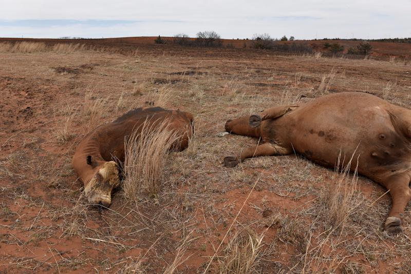 Dead cattle that were killed by the Rhea fire are pictured near Taloga, Oklahoma.