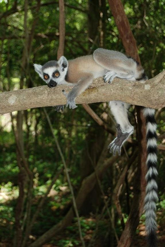 Lemurs Snooze in Caves Like Early Humans