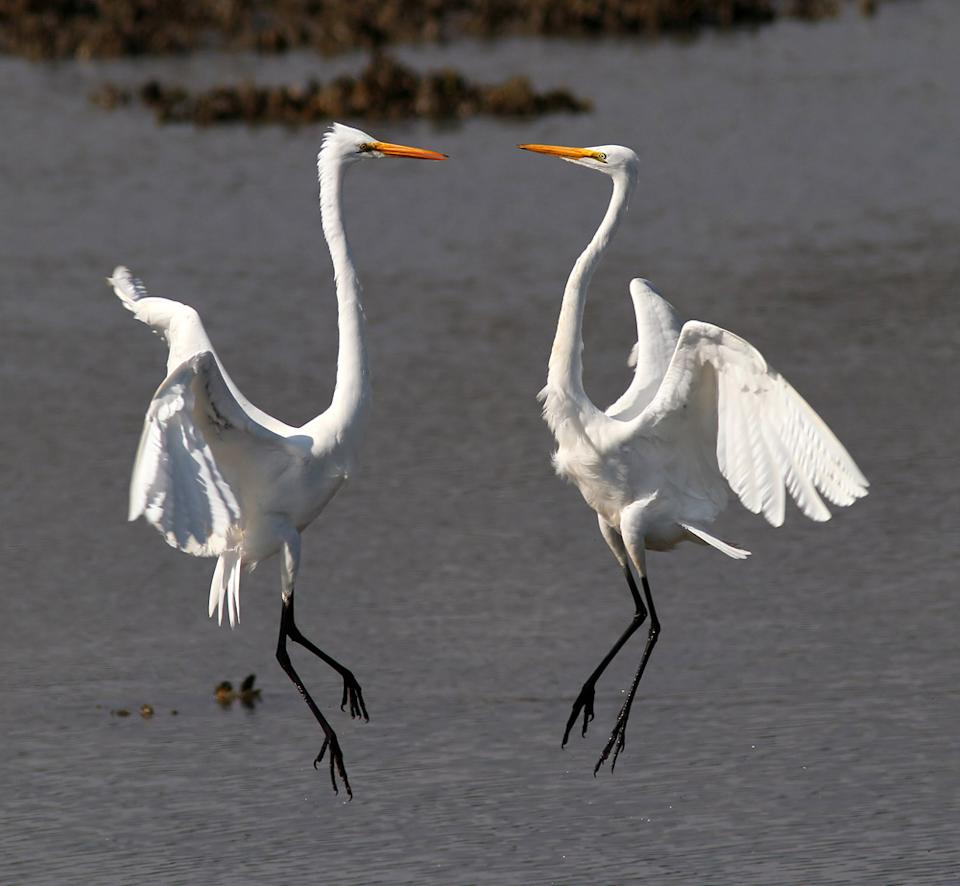 "A pair of great egrets battle over ownership of a good fishing spot in a South Carolina salt marsh during low tide. (Photo and caption Courtesy Phil Lanoue / National Geographic Your Shot) <br> <br> <a href=""http://ngm.nationalgeographic.com/your-shot/weekly-wrapper"" rel=""nofollow noopener"" target=""_blank"" data-ylk=""slk:Click here"" class=""link rapid-noclick-resp"">Click here</a> for more photos from National Geographic Your Shot."