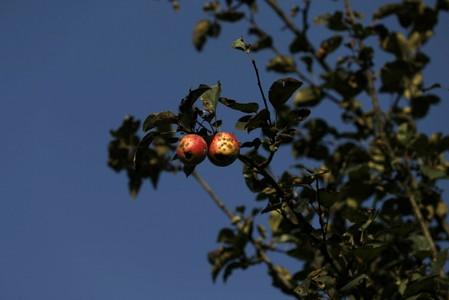 Rotten apples are seen on a tree at an apple orchard in Sopore
