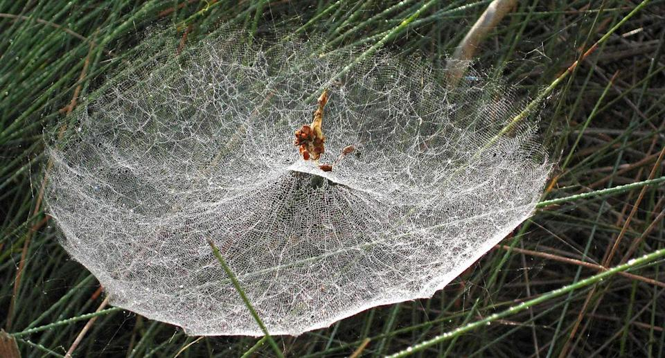 The intricate webs have been described as magnificent and impressive. Source: Supplied