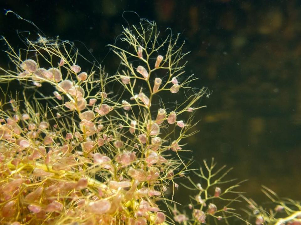 "Carnivorous, bog-dwelling plants called <a href=""https://plants.ifas.ufl.edu/plant-directory/utricularia-species/"" rel=""nofollow noopener"" target=""_blank"" data-ylk=""slk:bladderworts"" class=""link rapid-noclick-resp"">bladderworts</a> can snap their traps shut in less than a millisecond, 100 times faster than a Venus flytrap. They're rootless floating plants that have a yellow flower at the top and an insect-digesting bladder sac. They range in size from a few inches to a few feet long."