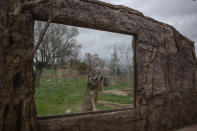 A wolf touches a glass window in it's enclosure in the Attica Zoological Park in Spata, near Athens, on Tuesday, Jan. 26, 2021. (AP Photo/Petros Giannakouris)