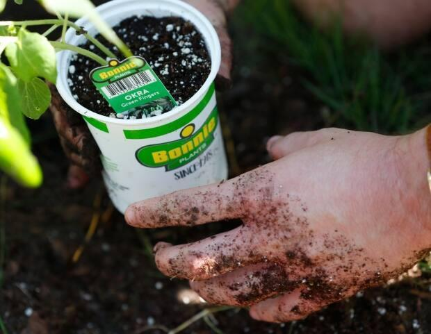 Some gardeners in Saskatchewan are finding that ants are eating the plants and nibbling on their patience.  (Wilfredo Lee/Associated Press - image credit)