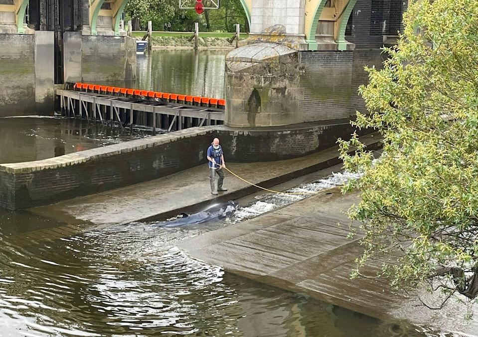 <p>The whale was kept hosed down by a man believed to work for the Port of London Authority</p> (Jake Manketo/PA)