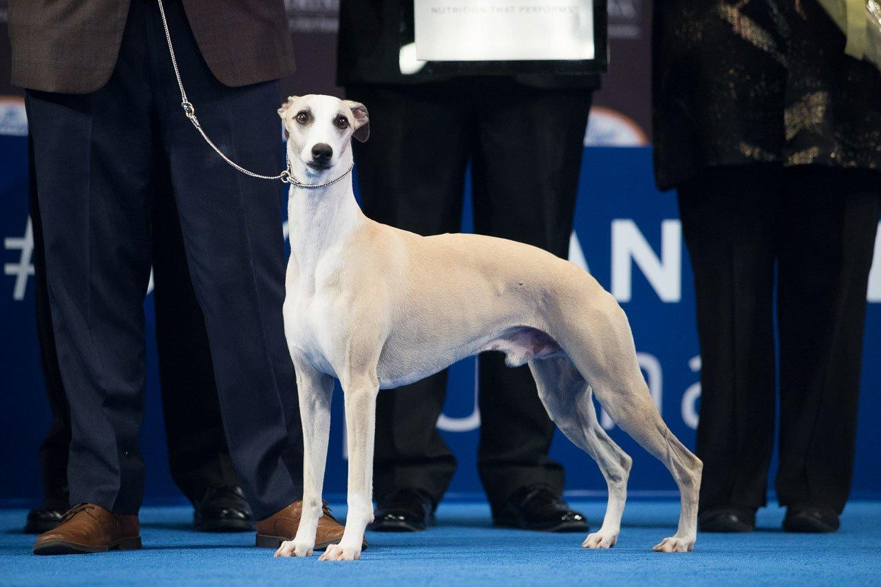 """The No. 1 hound in the country took the 2018 title, his 20th Best in Show win in just 18 months. But his owners say he's more than just a show dog.  """"First and foremost he is our companion and pet — we love him, he sleeps in our bed,"""" <a href=""""https://people.com/pets/national-dog-show-winner-2018/"""">Chelsea Smithey told PEOPLE</a>. """"I could show you all of these pictures on my phone of him curled upside down, every which way, hanging off the bed. I mean he's just a great dog."""""""