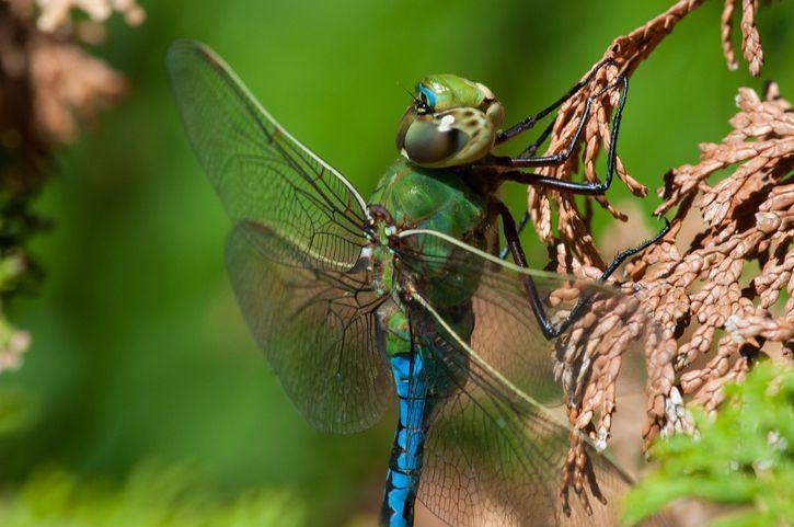 """<p><strong>Green Darner Dragonfly <br><br></strong>They may be called """"green"""" but these little flying creatures can be both green and blue. </p>"""