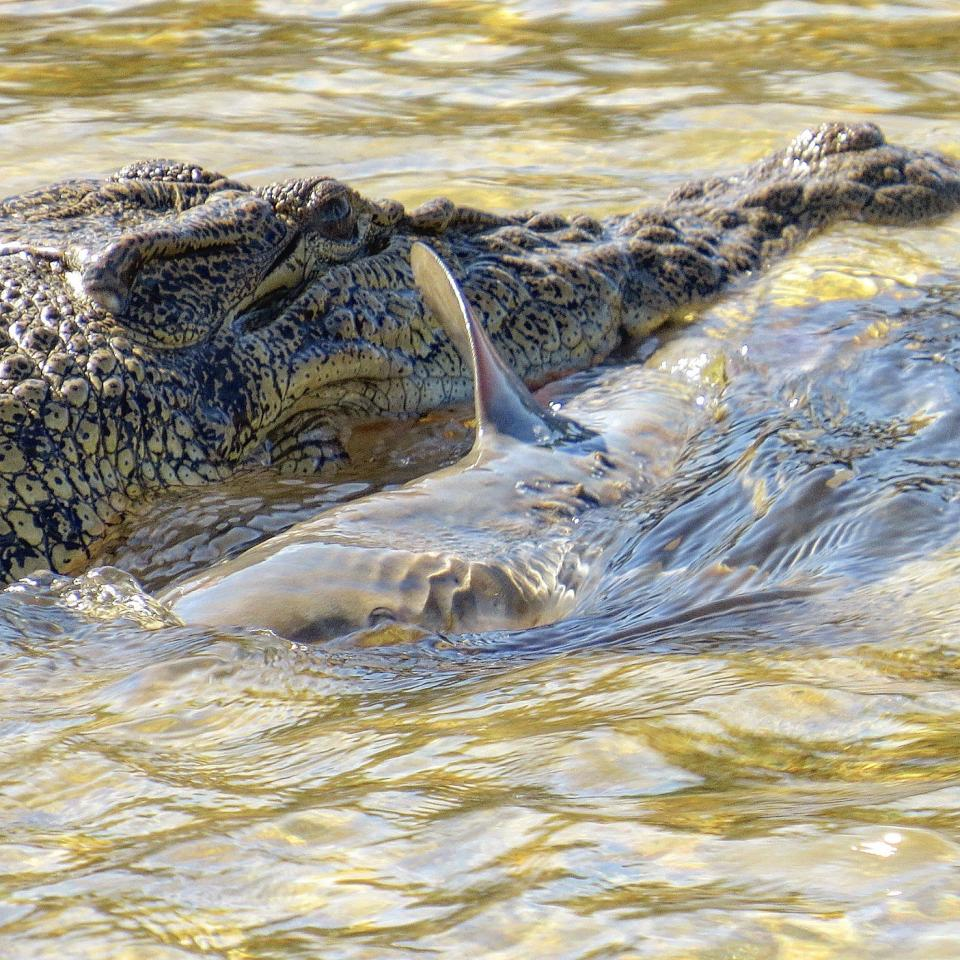 A shark and a crocodile in the river.