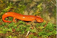 <p><strong>State Salamander: Red Salamander </strong></p><p>The little reptile is the official state salamander, while the Eastern Garter Snake holds the title of the Virginia State Snake. </p>