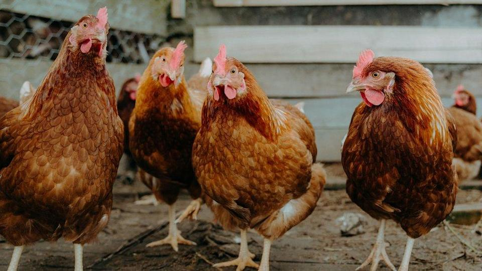 Chickens on a poultry farm